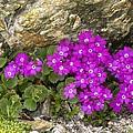 Alpine Primula (primula Hirsuta) by Bob Gibbons
