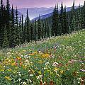 Alpine Wildflower Meadow, Mount by Darwin Wiggett