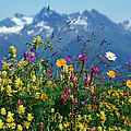 Alpine Wildflowers by Hermann Eisenbeiss and Photo Researchers