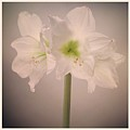 Amaryllis Flowers by Nathan Blaney