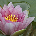 Amazon Water Lily Victoria Amazonica by Joke Stuurman