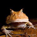Amazonian Horned Frog by Dant� Fenolio