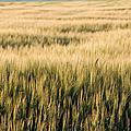 Amber Waves Of Grain by Cindy Singleton