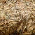 Amber Waves Of Grain by Randall Nyhof
