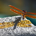 Amberwing Amber Shadow by Susan Isakson