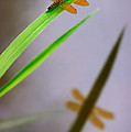 Amberwing Reflection by Susan Isakson