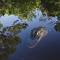 American Alligator In The Okefenokee Swamp by Pete Oxford