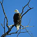 American Bald Eagle Haliaeetus by Joel Sartore
