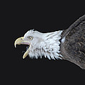 American Bald Eagle by Paul Ward