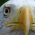 American Bald Eagle by Randy J Heath
