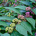 American Beautyberry Shrub - Callicarpa Americana by Mother Nature