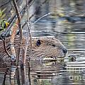 American Beaver by Ronald Lutz