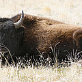 American Bison 2 by Marilyn Hunt