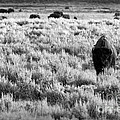 American Bison In Black And White by Sebastian Musial