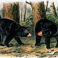 American Black Bear, 1844 by Granger