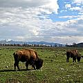American Buffalo 10 by Douglas Barnett