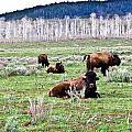 American Buffalo 16 by Douglas Barnett