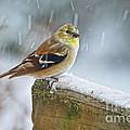 American Goldfinch - Spinus Tristis by Pamela Baker