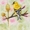 American Goldfinch by Grace Ashcraft