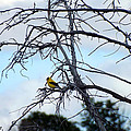 American Goldfinch In Tree by C Sitton