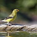 American Goldfinch by John Van Decker