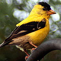 American Goldfinch by Laurel Talabere