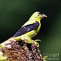 American Goldfinch by Ronald Grogan