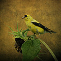 American Goldfinch by Sandy Keeton