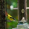 American Goldfinch by Scott Hervieux