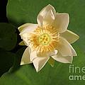 American Lotus Nelumbo Lutea Opening by Ted Kinsman