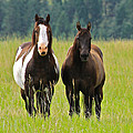 American Paint Stallion And Mare by Karon Melillo DeVega