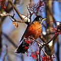 American Robin by Doug Lloyd