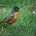 American Robin by  Onyonet  Photo Studios