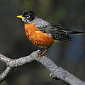 American Robin by Tony Beck