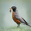 American Robin With Worms by Betty LaRue