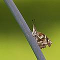 American Snout Butterfly - Libytheana Carinenta by Kathy Clark
