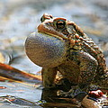American Toad Croaking by Bruce J Robinson