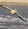 American White Pelican Pelecanus by Matthias Breiter