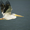 American White Pelican Pelecanus by Roy Toft