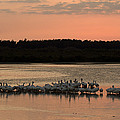 American White Pelicans At Sunset by Klaus Nigge