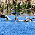 American White Pelicans by Greg Norrell