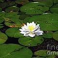 American White Waterlily by Ronald Grogan