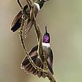 Amethyst-throated Sunangel Heliangelus by Murray Cooper