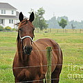 Amish Horse by David Arment
