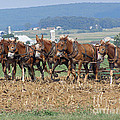 Amish Working Team  by Louise Peardon