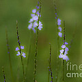 Amongst The Clover by Kim Henderson