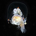 Amphipods Inside A Hydromedusa by Alexander Semenov