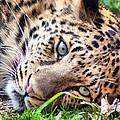 Amur Leopard by Lynne Jenkins