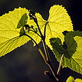 Amur River Grape Leaves (vitis Amurensis) by Dr. Nick Kurzenko