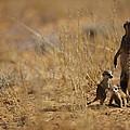 An Adult Meerkat Stands Guard Over Two by Mattias Klum